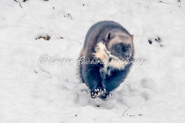 Alaskan animals Wolverine- - Alaskan Animals - Graham Reichardt Photography