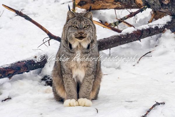 Alaskan animals-Lynx (1) - Alaskan Animals - Graham Reichardt Photography