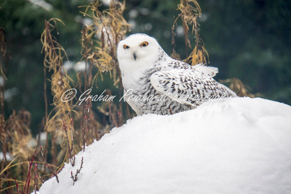Alaskan animals-Snowy Owl - Alaskan Animals - Graham Reichardt Photography
