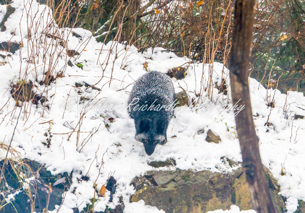Alaskan animals Silver Fox-2 - Alaskan Animals - Graham Reichardt Photography