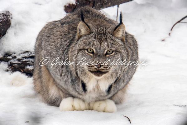 Alaskan animals-Lynx (3) - Alaskan Animals - Graham Reichardt Photography