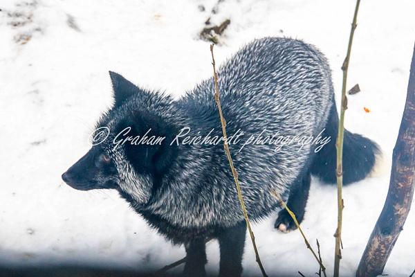 Alaskan animals Silver Fox-1 - Alaskan Animals - Graham Reichardt Photography
