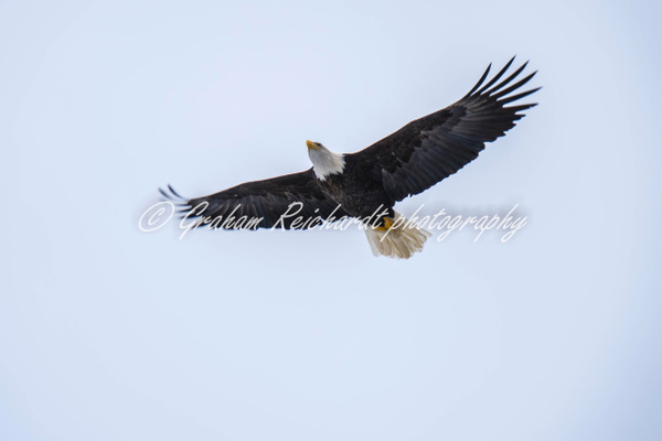 6-Bald Eagle Haines Alaska - Eagles - Graham Reichardt Photography
