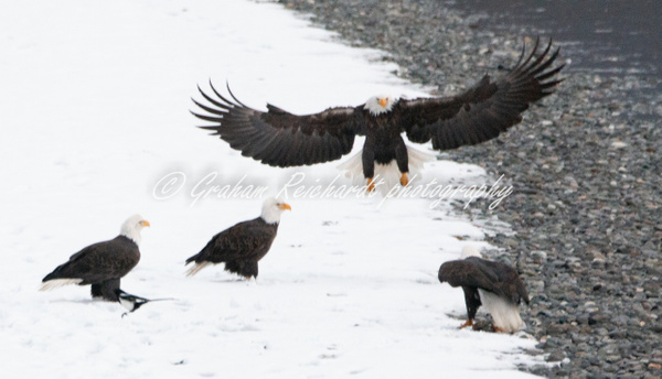 2- Bald Eagle coming in to land Haines Alaska - Eagles - Graham Reichardt Photography
