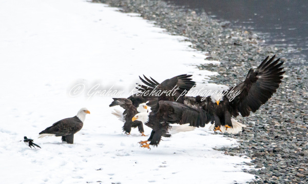 3- 5 Bald Eagles before the fight started, Haines Alaska - Eagles - Graham Reichardt Photography