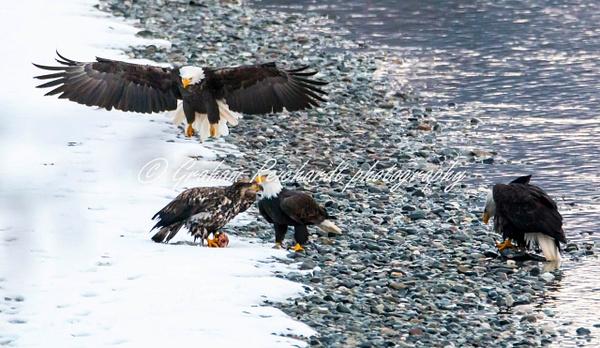 7-Bald Eagles Haines Alaska - Eagles - Graham Reichardt Photography