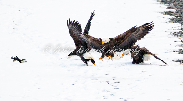 8- Bald Eagles fighting Haines Alaska - Eagles - Graham Reichardt Photography