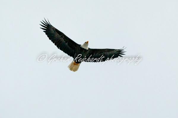 9- Bald Eagle Haines Alaska - Eagles - Graham Reichardt Photography