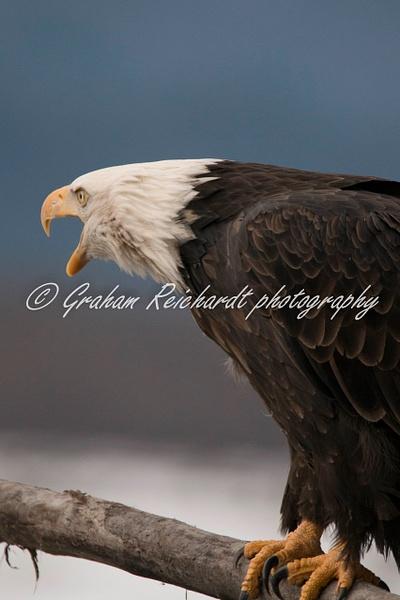 10-Bald Eagle Haines Alaska - Eagles - Graham Reichardt Photography