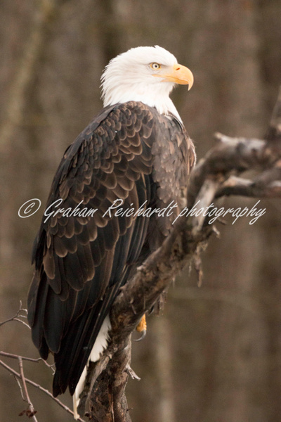11-Bald Eagle Haines Alaska - Eagles - Graham Reichardt Photography