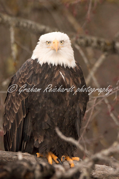 12-Bald Eagle Haines Alaska - Eagles - Graham Reichardt Photography