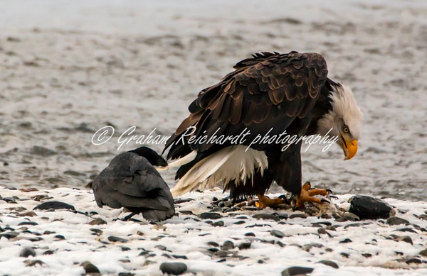 14 - Bald Eagle with a Raven pulling the tail feathers Haines Alaska - Eagles - Graham Reichardt Photography