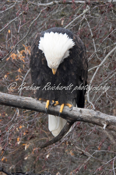 15- Bald Eagle Haines Alaska - Eagles - Graham Reichardt Photography