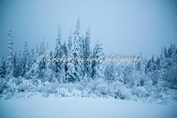 1- Black Spruce trees in Enchanted forest  Dalton Highway Alaska 11-18-1 - Alaskan Scenery - Graham Reichardt Photography