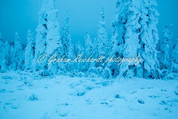 6- Black Spruce trees in Enchanted forest Dalton Highway Alaska 11-18-8 - Alaskan Scenery - Graham Reichardt Photography