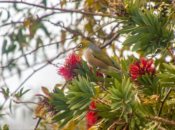 NZ Waxeye in bottlebrush tree 1 - NZ General - Graham Reichardt Photography