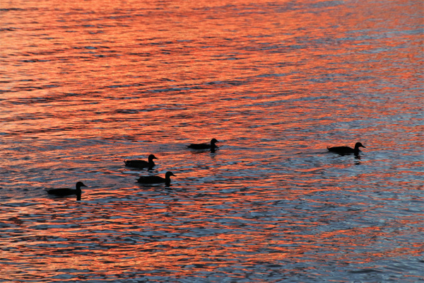 ducks in the sunset - NZ Scenery - Graham Reichardt Photography