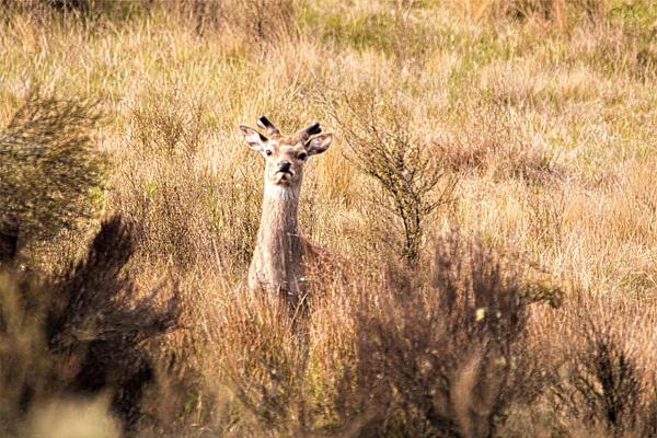 Ska Deer 3 - NZ General - Graham Reichardt Photography