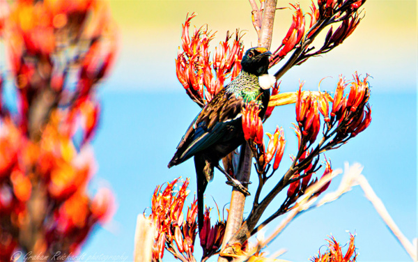 tui-5 - NZ General - Graham Reichardt Photography