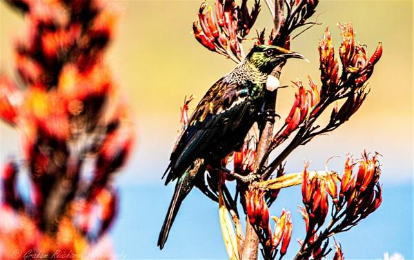 tui-6 - NZ General - Graham Reichardt Photography