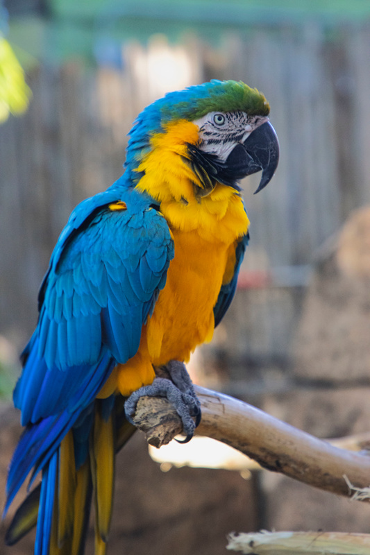Gold Macaw Parrot from Palm Beach Zoo