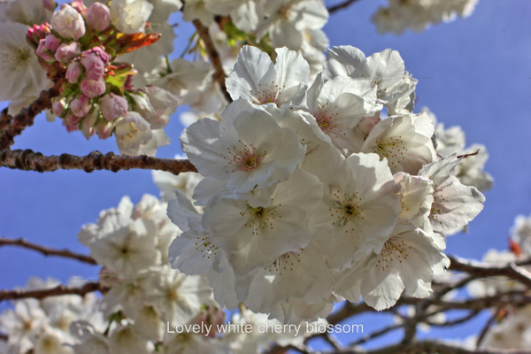 White Cherry Blossom - Home - Ronald Bell