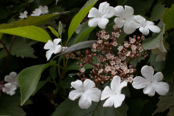 Matties hedge - Flowers - Ronald Bell