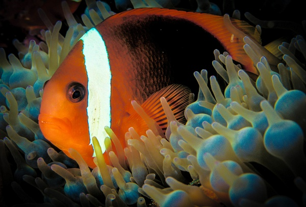 CLOWNFIGH-17 - Marinelife - Keith Ibsen Photography