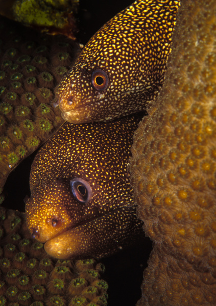 Spotted Moarys Bonaire - Marinelife - Keith Ibsen Photography
