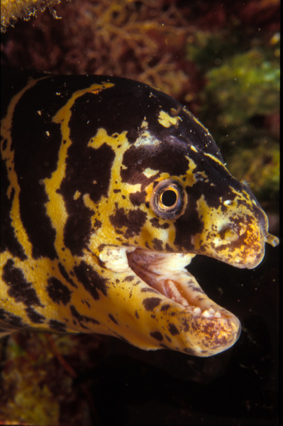 Marble Moray-4-1 - Marinelife - Keith Ibsen Photography