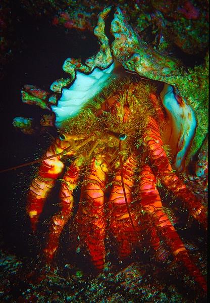 hermit - Marinelife - Keith Ibsen Photography