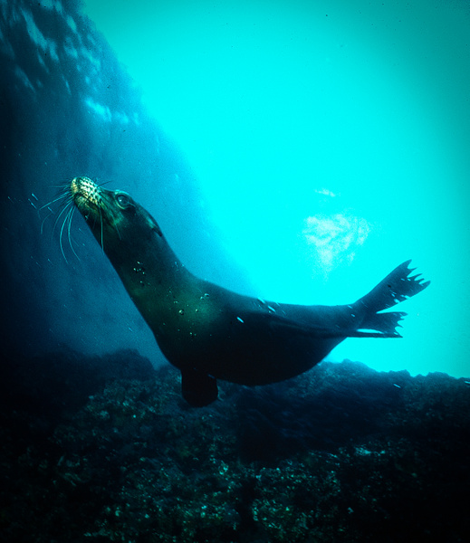 Sea Lion Galap - Marinelife - Keith Ibsen Photography