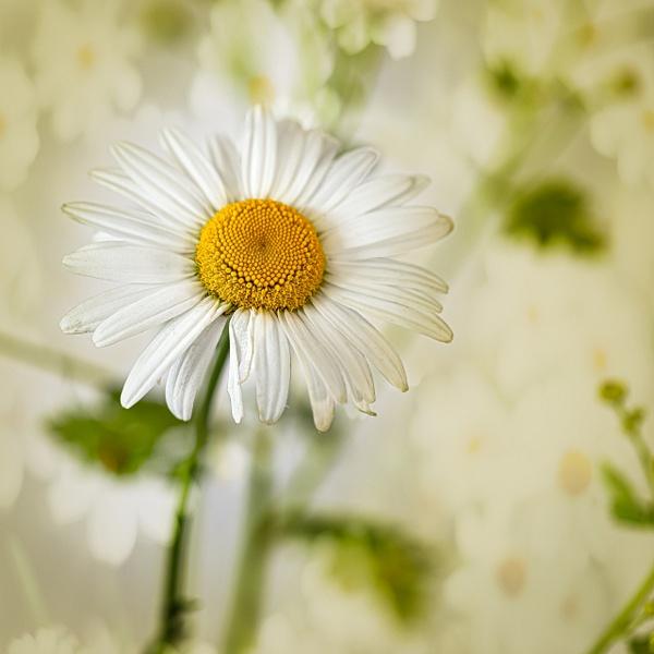 white daisy-2 - Jersey Shore - JaxPropix Photography