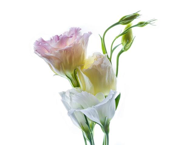2020-09 still life-3 - Flowers on White - JaxPropix Photography