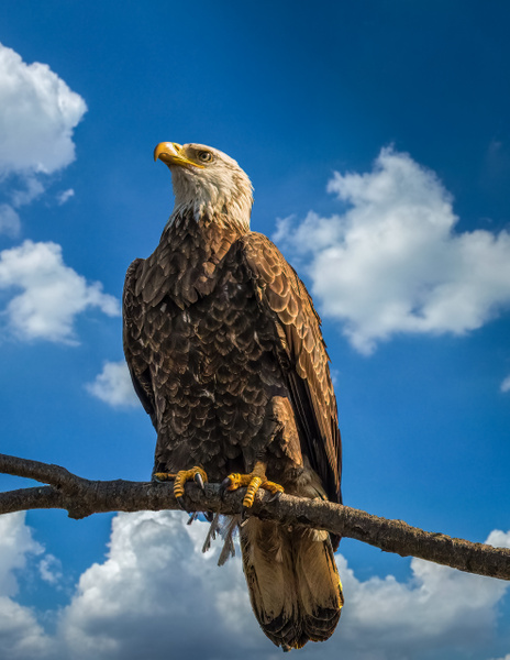 bald eagle - Birds - JaxPropix Photography
