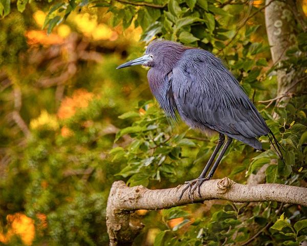 blue heron - Birds - JaxPropix Photography