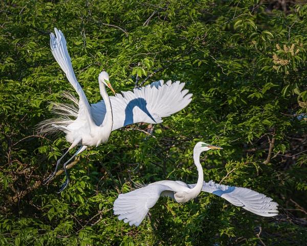 2 egrets - Birds - JaxPropix Photography