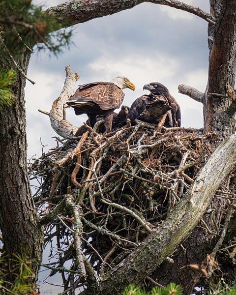 eagle with baby - Birds - JaxPropix Photography
