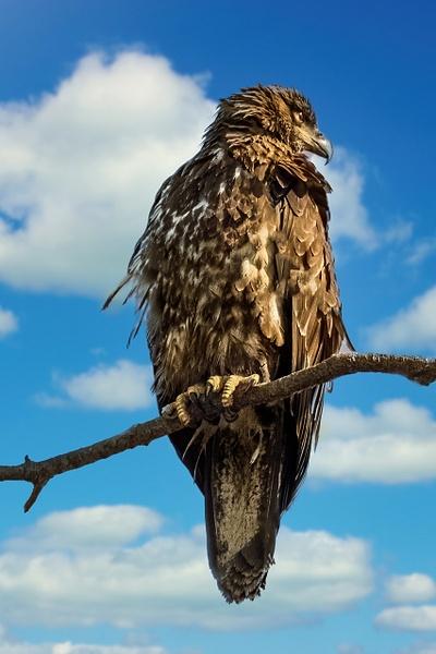 juvenile eagle - Birds - JaxPropix Photography