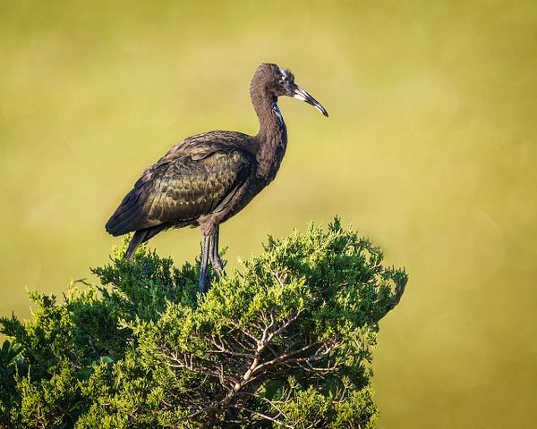 glossy ibis - Birds - JaxPropix Photography