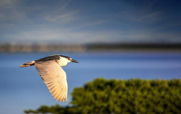 night heron golden light - Birds - JaxPropix Photography