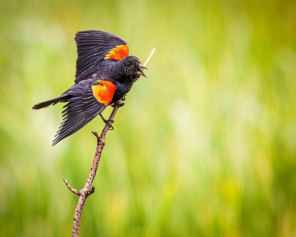 red wing black bird - Birds - JaxPropix Photography