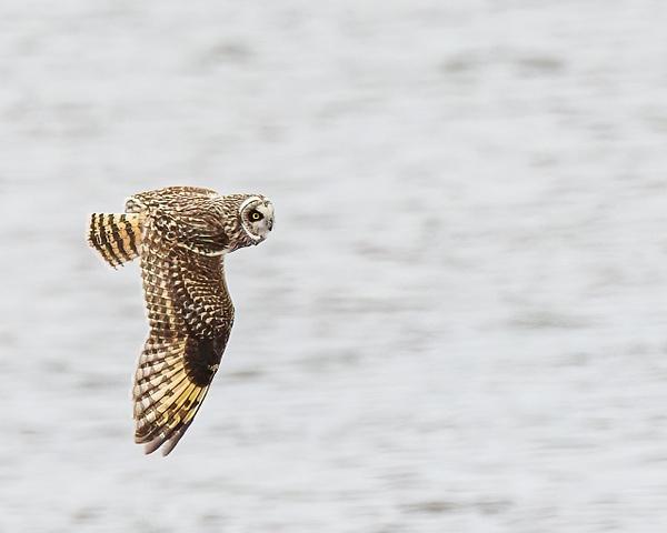 short eared owl - Birds - JaxPropix Photography