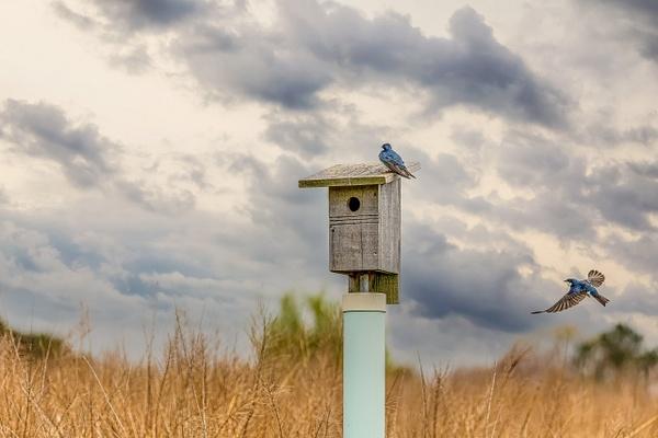 tree swallow - Birds - JaxPropix Photography
