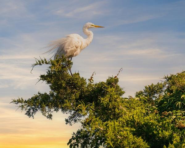 white heron golden light - Birds - JaxPropix Photography
