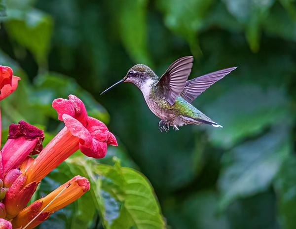 2021-08 hummingbird - Birds - JaxPropix Photography