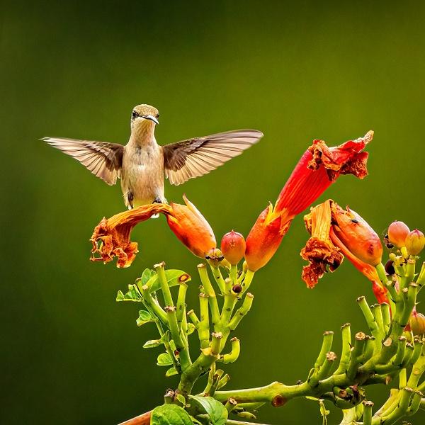 2021-08 hummingbird-4 - Birds - JaxPropix Photography