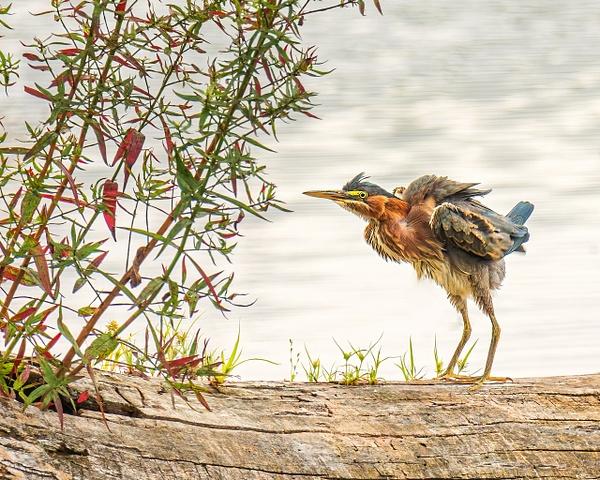 2021-08 hummingbird-5 - Birds - JaxPropix Photography