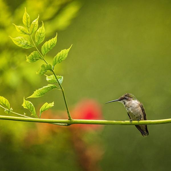 2021-08 hummingbird-3 - Birds - JaxPropix Photography