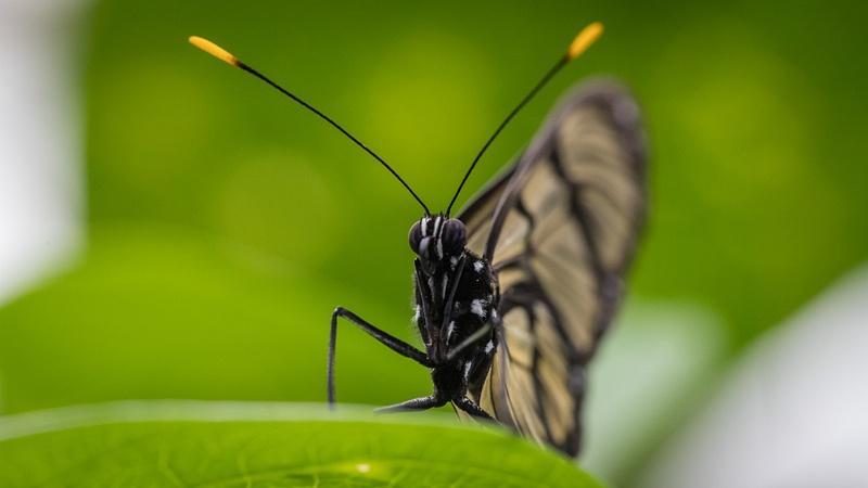 Equateur - Papillon 1